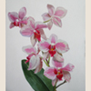 Branch of orchid, 2006